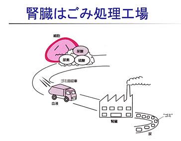 腎臓はごみ処理工場